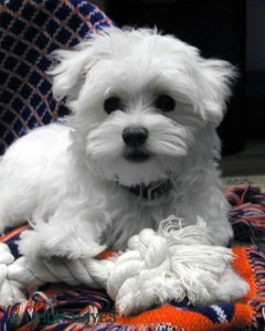Well Trained Maltese puppies Available