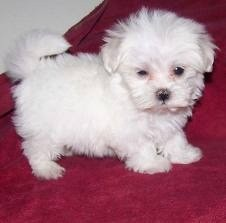Healthy Maltese Puppies For Free Adoption