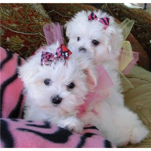 ... and Healthy Male and Female Teacup Maltese puppies for free adoption