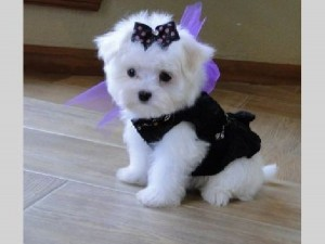 teacup maltese puppies true teacup maltese puppies for sale this ...