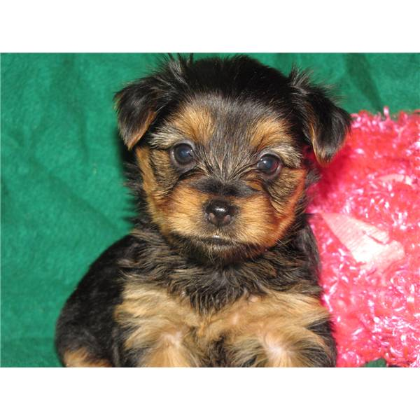 Tiny Male and Female Yorkie Puppies For Adoption