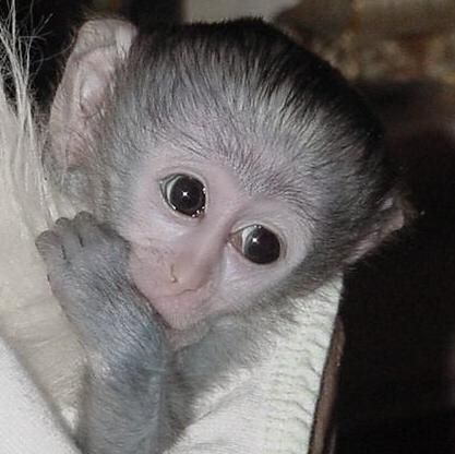 Twin Pygmy Marmoset Monkeys For Sale Buy And Sell Australian Pictures ...