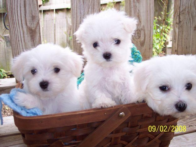 baby face maltese puppies for good home - 100.00 US$