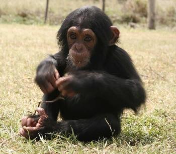 adorable baby chimpanzee for sale - 800.00 US$